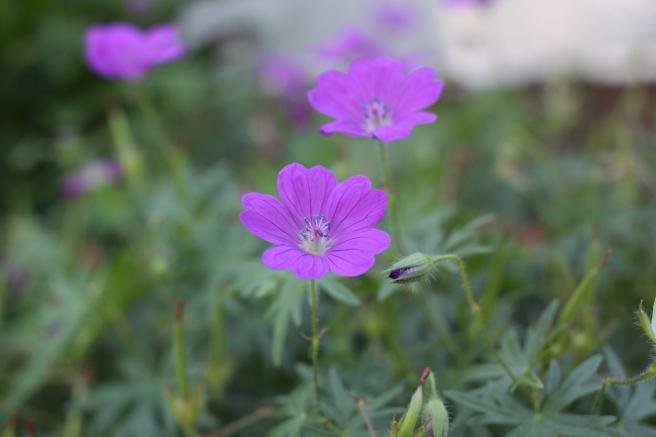geranium sanguineum magenta